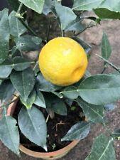 Zitronat-Zitrone 120cm sehr feine,alte Sorte Citrus medica /'Cedro di Firenze/'