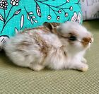 Small Freeze Dried Rabbit.....White & Brown...Taxidermy Mount
