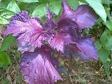 250+ Basil Purple Ruffles Seeds