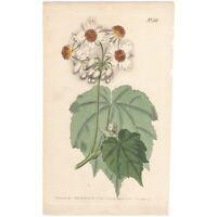 Curtis Botanical Magazine antique 1801 hand-colored engraving Pl 709 Sparmannia