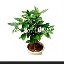 Giant Cinnamon Tree 20 Pcs Seeds Evergreen Bonsai Fragrant Plants Perennial NEW
