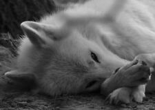 Framed Print - Grey Wolf Resting (Wild Animal Picture Predator Poster Bear Art)