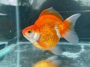 Live Goldfish Ryukin Red-White size 3 inch male from Thailand adorable!