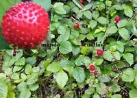 Potentilla Indica - Strawberry India - 250 Seeds Seeds - Mock Strawberry