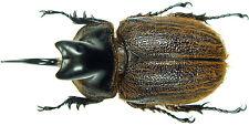 Insect - Heterogomphus hirtus - C.Peru - Large Male 45~50mm ....!!