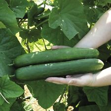 Cucumber Early Spring Burpless 20+ Hybrid Seeds HIGH YIELDS COMBINED SHIPPING