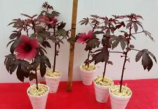 2 LIVE PLANTS Florida Cranberry Hibiscus Acetosella FAST GROWING EDIBLE PLANT