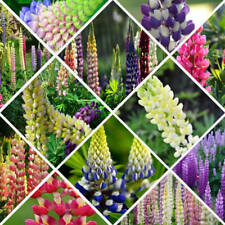 100pcs Mixed Russell Lupine Seeds Lupinus Beautiful Polyphyllus Flower Garden