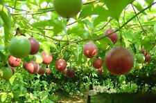 Passion Fruit Seeds Rare Garden Fruit Seeds Passion Fruit Tree Seeds Organic