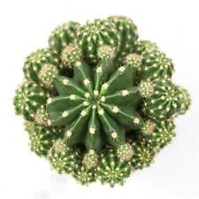 """25 Seeds Echinobivia """"Rainbow Burst"""" Succulent Cactus Plant Garden Cacti"""