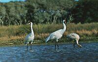 Postcard Whooping Cranes