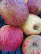 Malus Stahls Winterprinz - Apfel Stahls Winterprinz