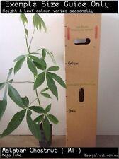Malabar Chestnut (Pachira glabra) Fruit Tree Plant