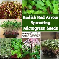 RADISH RED ARROW Sprouting Seeds 50g-400g untreated sprout MICRO GREEN sprouts