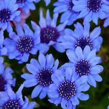 Blue Daisy- 25 Seeds