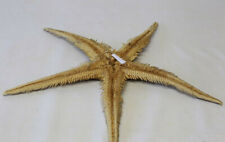Etoile de mer Ast��rie Echinoderme Blanche