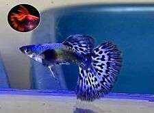1 Pair- Purple Mosaic Halfmoon- Live Guppy Fish High Quality US Seller.