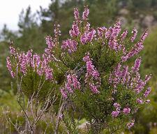 """Heidekraut / Besenheide Calluna vulgaris 50 Samen """"ALLES NUR 1 EURO"""""""