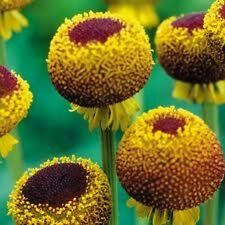 50+ Helenium Autumn Lollipop Flower Seeds / Perennial