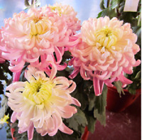 100Pcs Rare Bicolor Pink Yellow Chrysanthemum Seeds Morifolium Garden DIY Flower