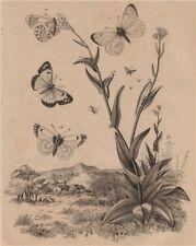 PIERIDAE BUTTERFLIES Orange Tip. Blue-Spotted Arab (Colotis phisadia) 1834