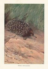 c1914 Natural History Print ~ Spiny Ant-Eater ~ Lydekker