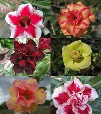 "AMAZING!! ADENIUM ""Mixed 6 Type"" 6 GRAFTED PLANT FRESH WOW!!"