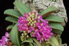 Mini Rare orchid species - Schoenorchis fragrans
