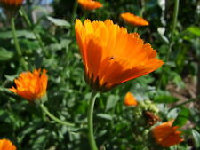 Calendula officinalis(100 seeds)- Organic Heirloom from Life-Force Seeds