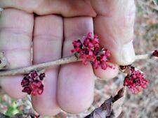 5 Kohankie Red Witch Hazel Seeds - Hamamelis vernalis