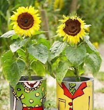 Sunflower Dwarf Sunspot 25 seeds * Fit in pot * Non GMO * CombSH J41