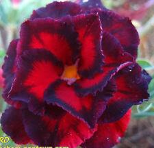 """ADENIUM OBESUM DESERT ROSE """"Black Bird"""" 110 Seeds"""