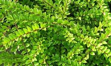 20 Lonicera Nitida  Hedging Box Honeysuckle Tree Plants, 20cm Tall In 9cm Pots