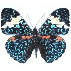 Hamadryas amphinome ONE REAL BUTTERFLY BLUE WHITE PERU UNMOUNTED WINGS CLOSED