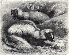 White-Backed Skunk 1894 Mammal - Friedrich Specht Victorian Engraving