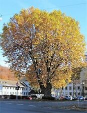 London Plane Tree  50 seeds Only £1.25 come with instructions