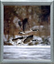 Canada Geese Bird In Flight Daniel Cox Animal Wall Decor Silver Framed Picture