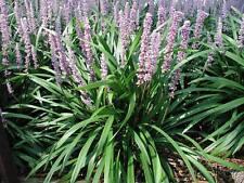 Liriope muscari 'Ingwersen' 12 Plants in 3-1/2 inch Pots Free Shipping