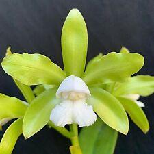 Catleya leopoldii v. alba 'Fields' Hcc/Aos x self Orchid Plant