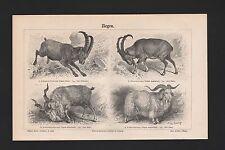 Lithografie 1897: Ziegen. Alpensteinbock Bezoar-Schrauben-Angora-Ziege