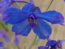 DELPHINIUM BLUE BUTTERFLY (Delphinium chinense)  X 50 Seeds