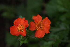 Nelkenwurz orange, Geum - 20 Samen