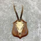 #23843 P | European Roe Deer Plaque Mount - Antlers
