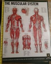 New listing Laminated Muscle anatomy poster