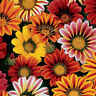 Gazania Sunshine Mix Seed Low Growing Groundcover Bright Colours Drought Hardy