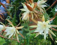1 x Epiphyllum Anguliger CUTTING , Orchid Cactus,  Fishbone Zig Zag Cactus