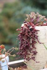 Senecio othonna capensis 'Ruby Necklace' Succulent plant ~ RARE