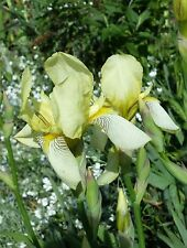 Schwertlilie / Iris 1Rhizom hell gelb ca 80 cm Wuchshöhe