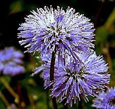 Globularia nudicaulis (Globe Daisy) x 30 seeds. Clamping Evergreen. Rock garden