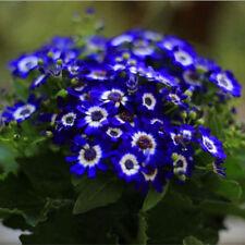 100x Daisy Blue Eyed Osteospermum Seeds Ecklonis Cape Mixed Flower Garden Decor